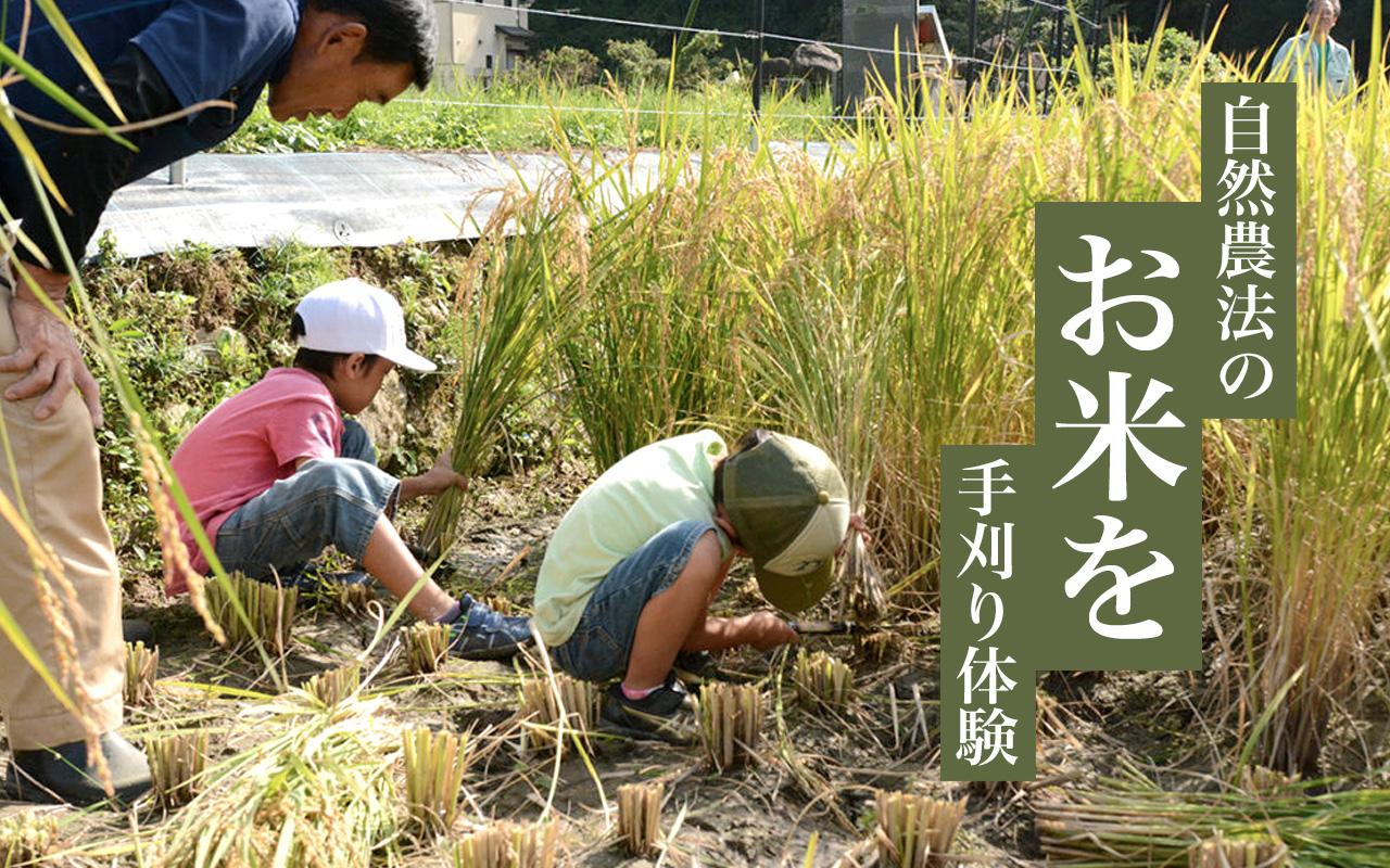 自然農法のお米を稲刈り体験